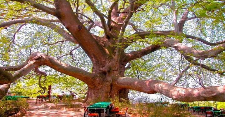 İnkaya Tarihi Çınara Ağacı Bursa