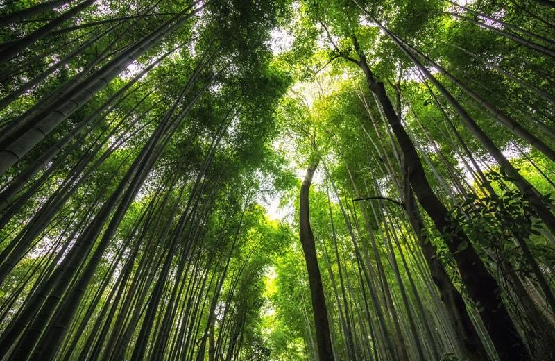 Arashiyama Bamboo Ormanları Kyoto