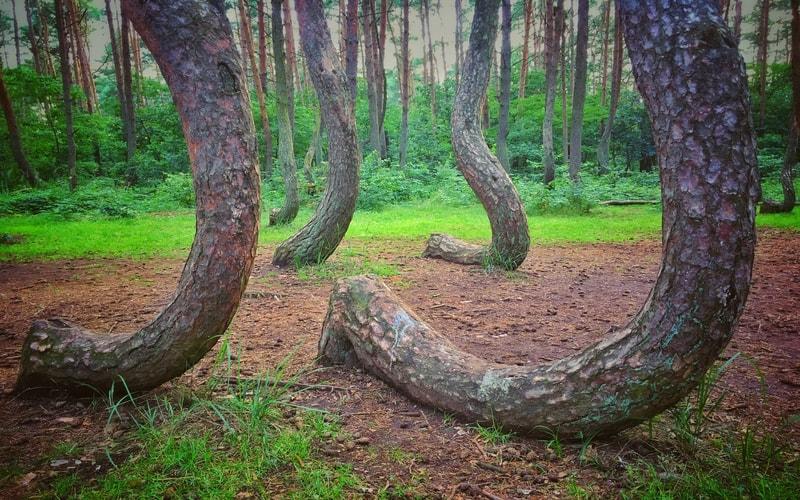 Eğri Orman - Dünyanın En İlginç Yerleri